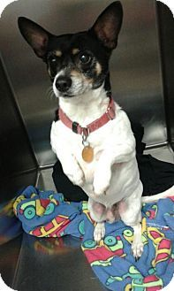 Detroit Lakes Mn Jack Russell Terrier Mix Meet Rocko A Dog
