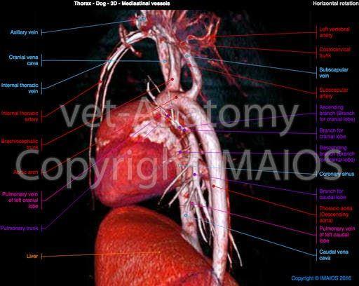 Dog Mediastinal Vessels Ascending Aorta Brachiocephalic Trunk