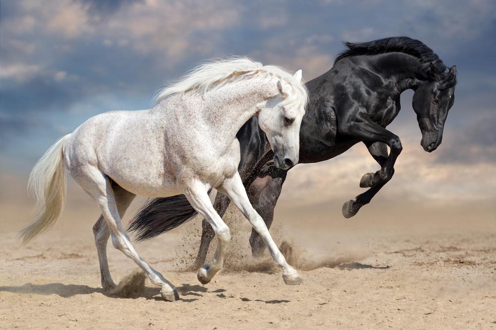 Black White Horses Run Desert Dust White Horses Horses Running Horses