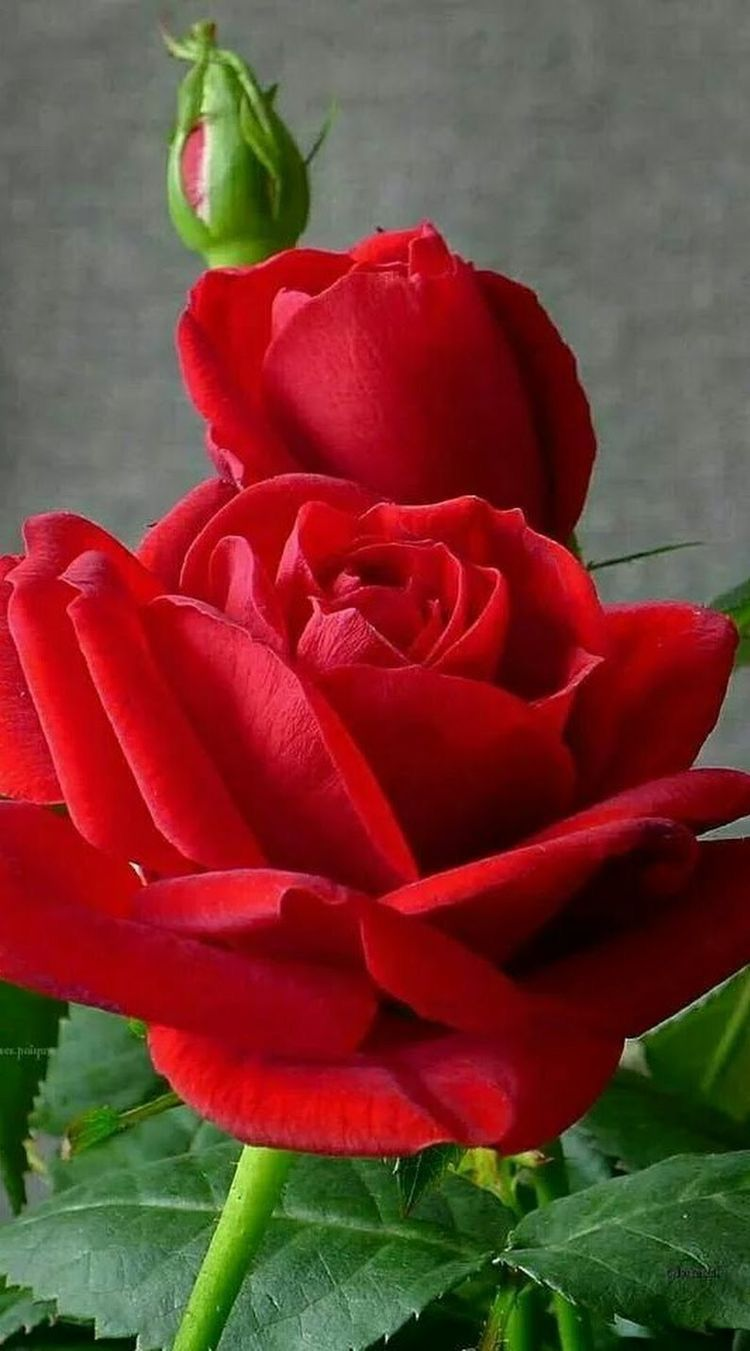 Pin By Ghayur On Beautiful Flowers And Roses Pinterest Flowers