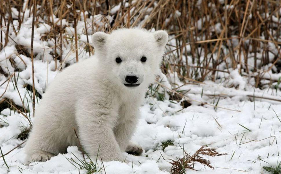 Polar Bear Cub HD Wallpaper