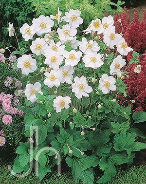 White Japanese Aneomes Perennial Shrubs Perennials White Flower Farm