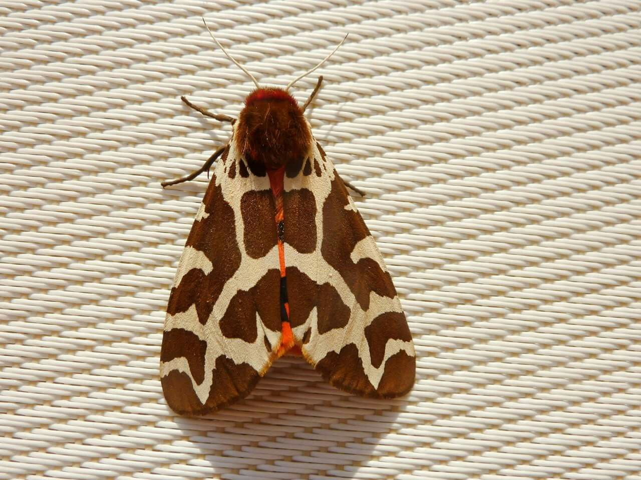 Garden Tiger Moth - Arctia caja   Insect- Moths   Pinterest   Moth ...