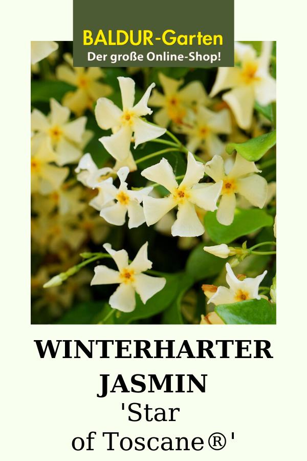 Winterharter Jasmin 'Star of Toscane'