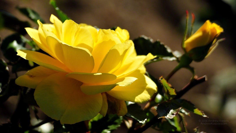 Resultado de imagem para beautiful rose