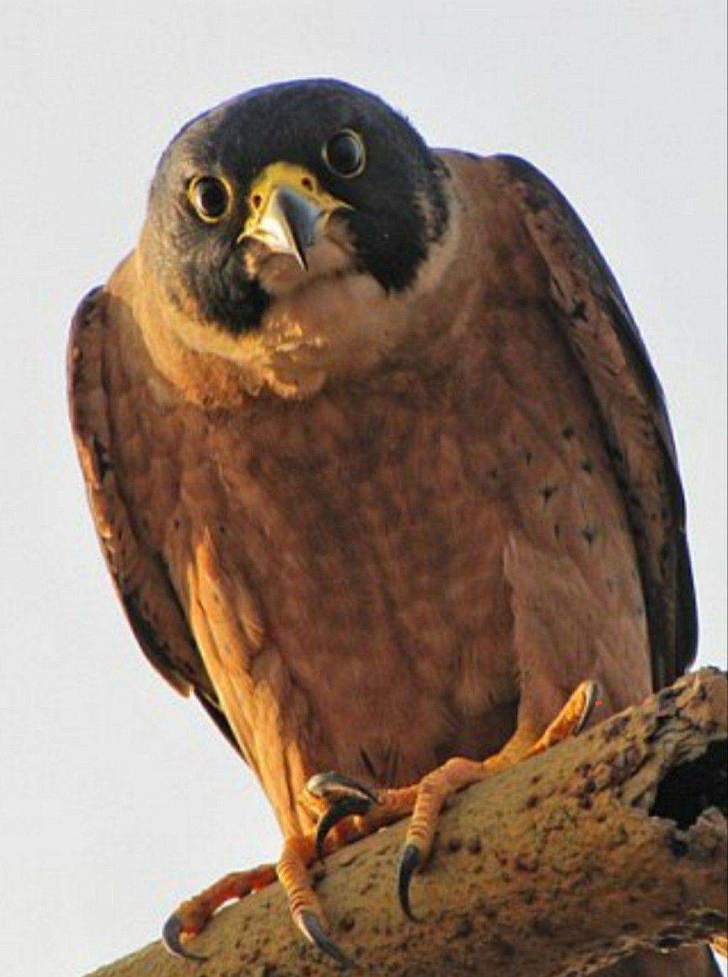 Birds Bild Von Peter Van In 2020 Tiere Falco