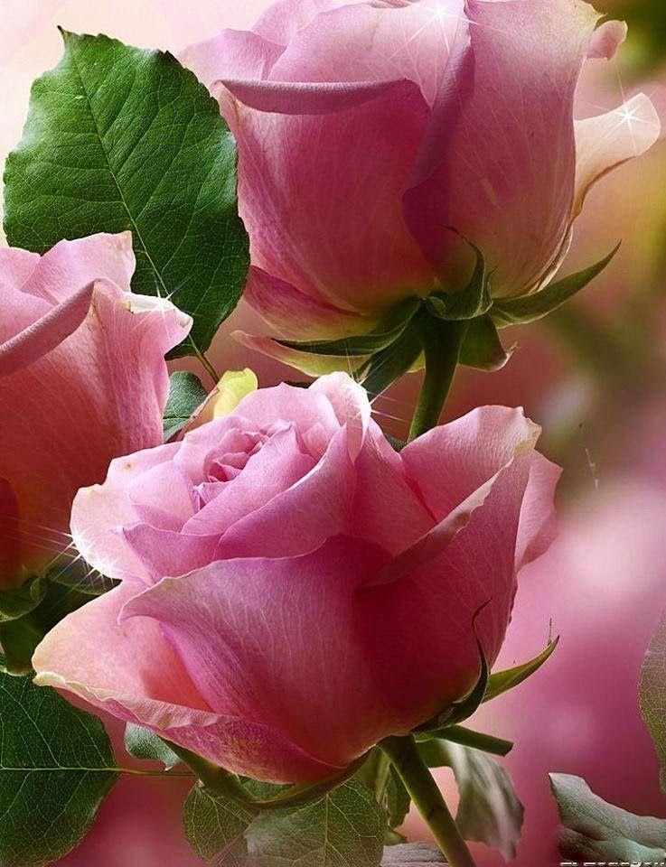 Boa Noite Com Imagens Flores Bonitas Flores Cor De Rosa