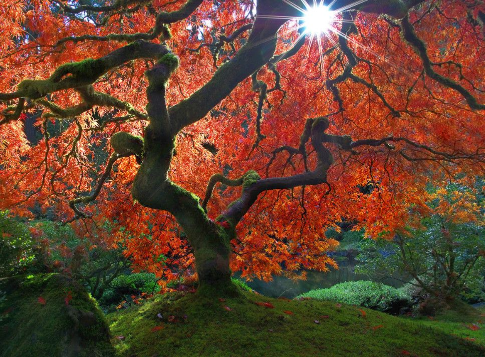 Красный клен и солнце. Фото: David Wang