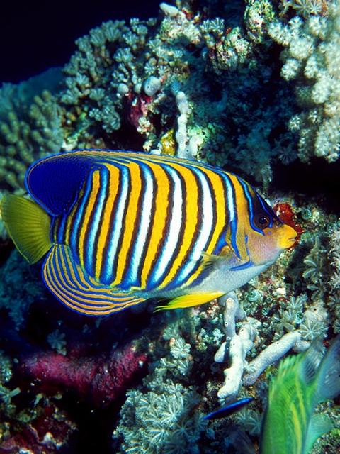 Regal Angelfish Poisson Tropical Poisson Mer Rouge
