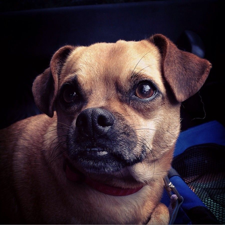 Chief Small Male Jack Russell Terrier X Pug Mix In Nsw