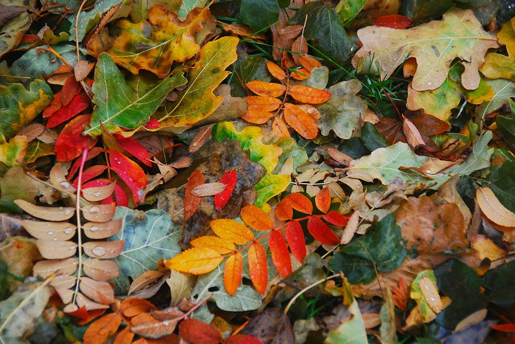 Leaves from a variety of trees in my backyard. It's mostly leaves from an oak and a mountain ash.