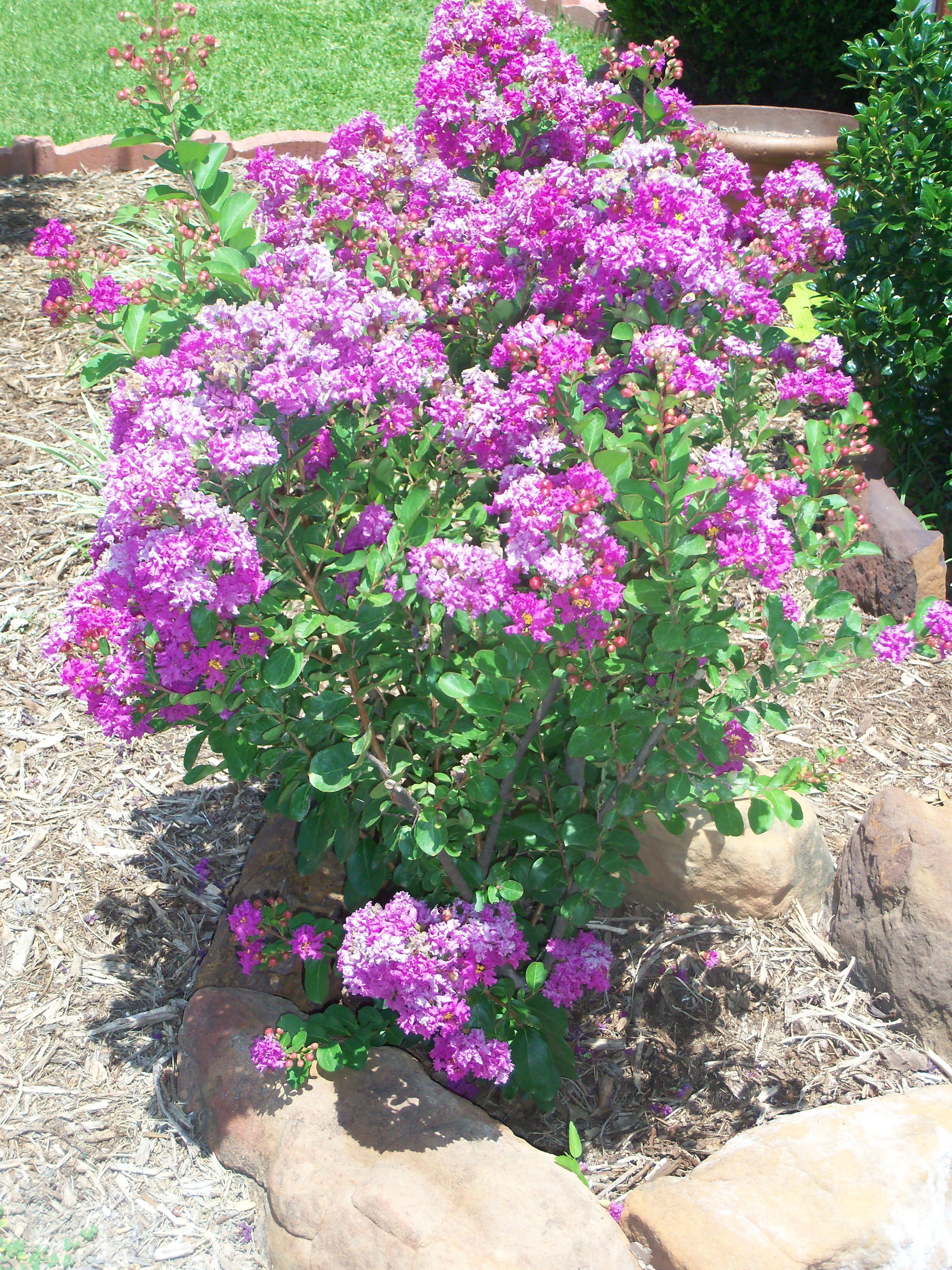 3 Foot Dwarf Crepe Myrtle Crepe Myrtle Trees To Plant Flower Beds