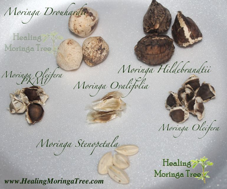 Moringa Oleifera Seeds Moringa PKM1 Seeds  Moringa