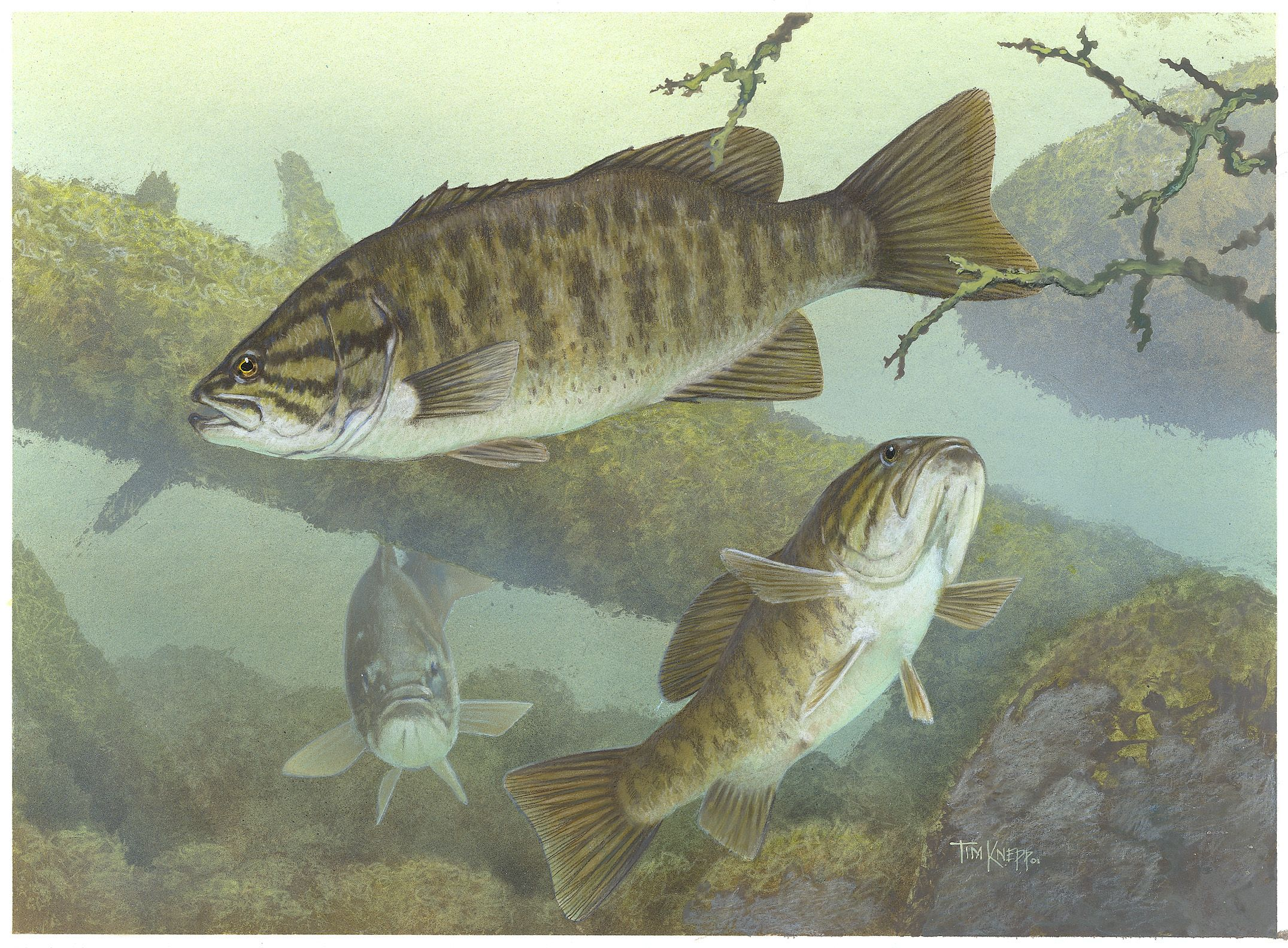 Freshwater fish art - Bass Images Of Fish Smallmouth Bass Public Domain Image Click To Follow To