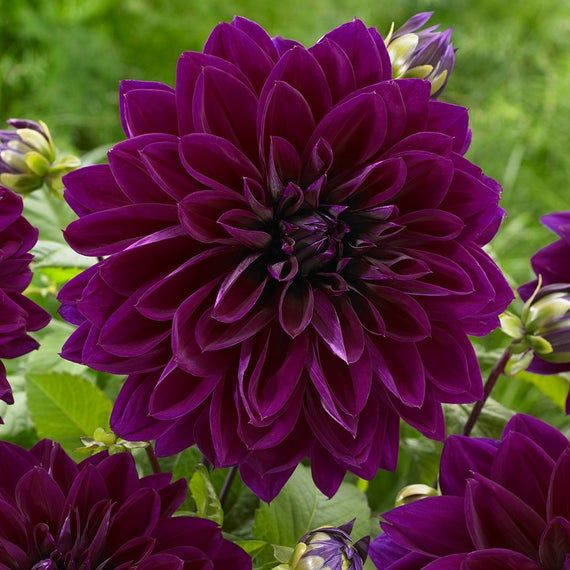 The Bold The Beautiful Dahlia Tuber Collection In 2020 Giant Flowers Purple Dahlia Dahlia Flower