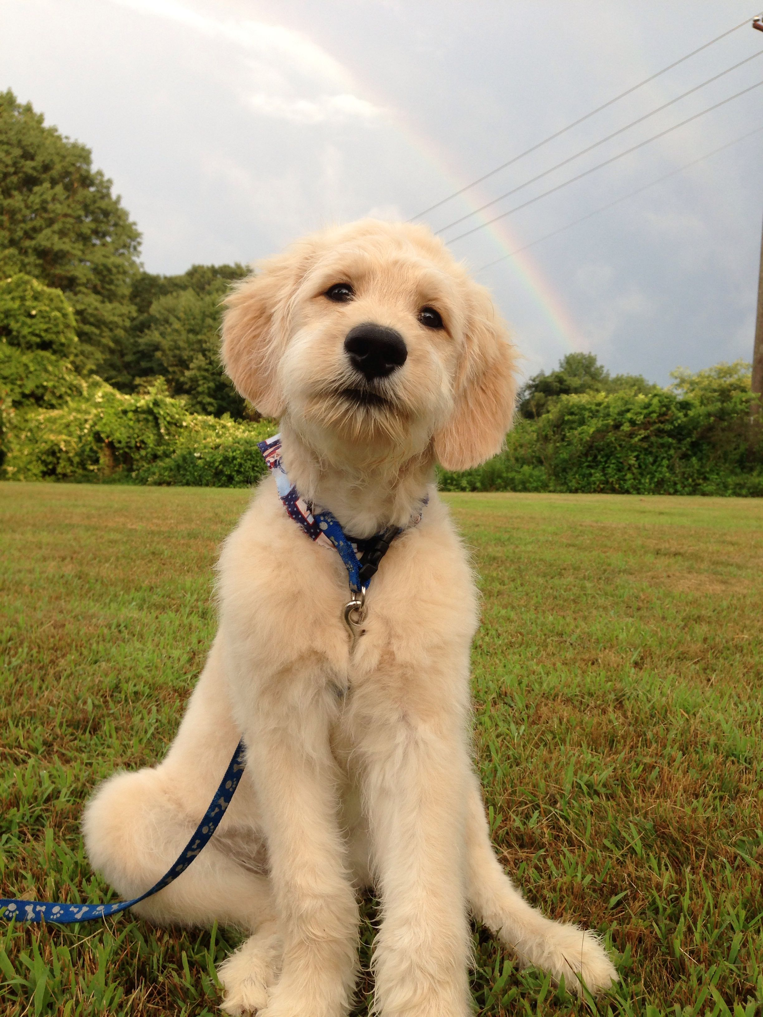 goldendoodle haircut goldendoodle haircut pictures goldendoodle grooming 5 best tips on how to groom a