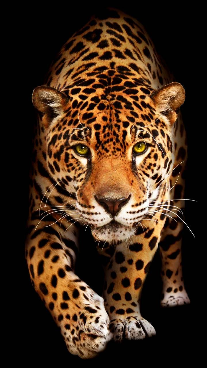Download Jaguar Wallpaper By Georgekev 68 Free On Zedge Now Browse Milli Animals Https Livewal Jaguar Animal Jaguar Wallpaper Wild Animal Wallpaper