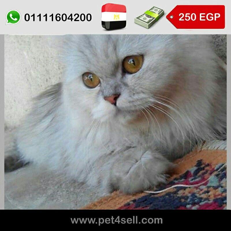 مصر القاهرة قطط هواي للبيع الاب والام نادرين هواي تايجر ٤ قطط ٣ اناث ١وذكر العمر ٢٥ مدينة نصر Pet4sell Cats Animals