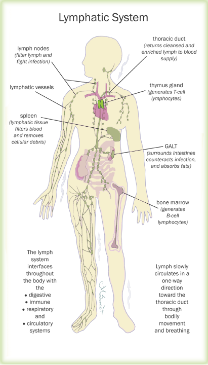 The lymph system and women\'s health by Marcelle Pick, OB/GYN NP ...