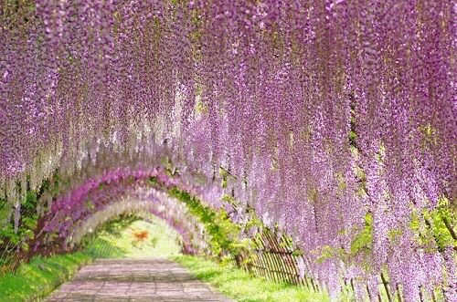 Wisteria Flower Tunnel In Japan Wisteria Vines Are Native To The United States But Also To Japan In Tokyo Tourist Spots Dream Vacations Destinations Trip
