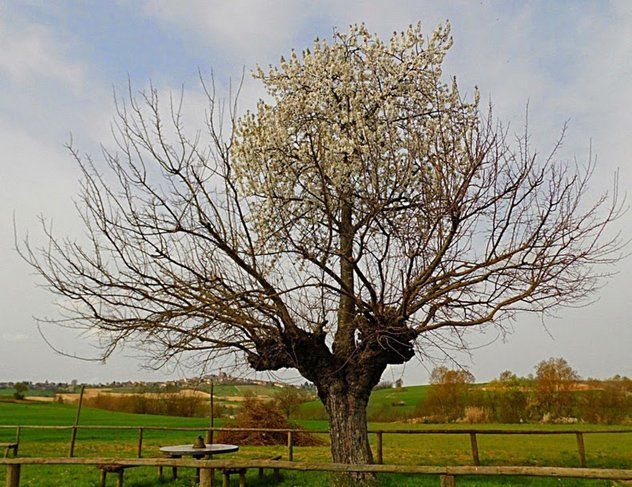 In the countryside of Piemonte, Italy, there is an unusual sight. There is a cherry tree there that looks, in most respects, just like any other healthy cherry tree—except that it happens to growing directly on top of a mulberry tree.