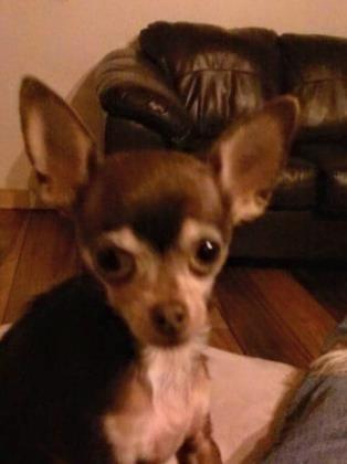 Petango Com Meet Micki A 5 Years 1 Month Chihuahua Short Coat