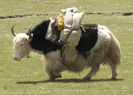 Pack yak. I wish there was white ones in North America.