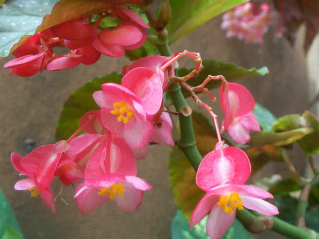 Begonia X Coralline Is A Beautiful Easy Care Flowering Plant With Large Angel Wing Shaped Dark Green Leaves Begonia Planting Flowers Begonia Plants