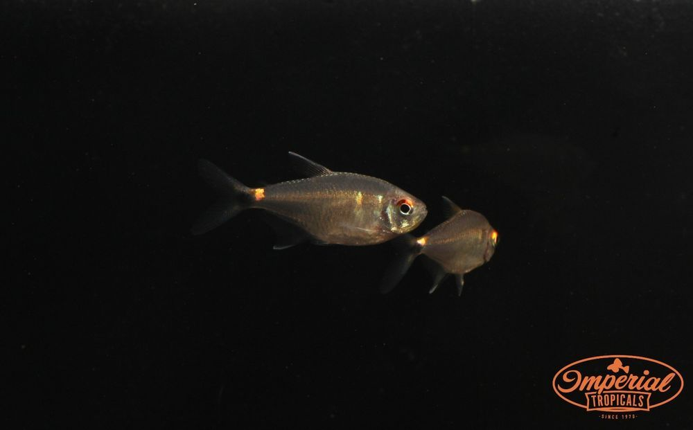 Head And Tail Light Tetra Hemigrammus Ocellifer Live Community