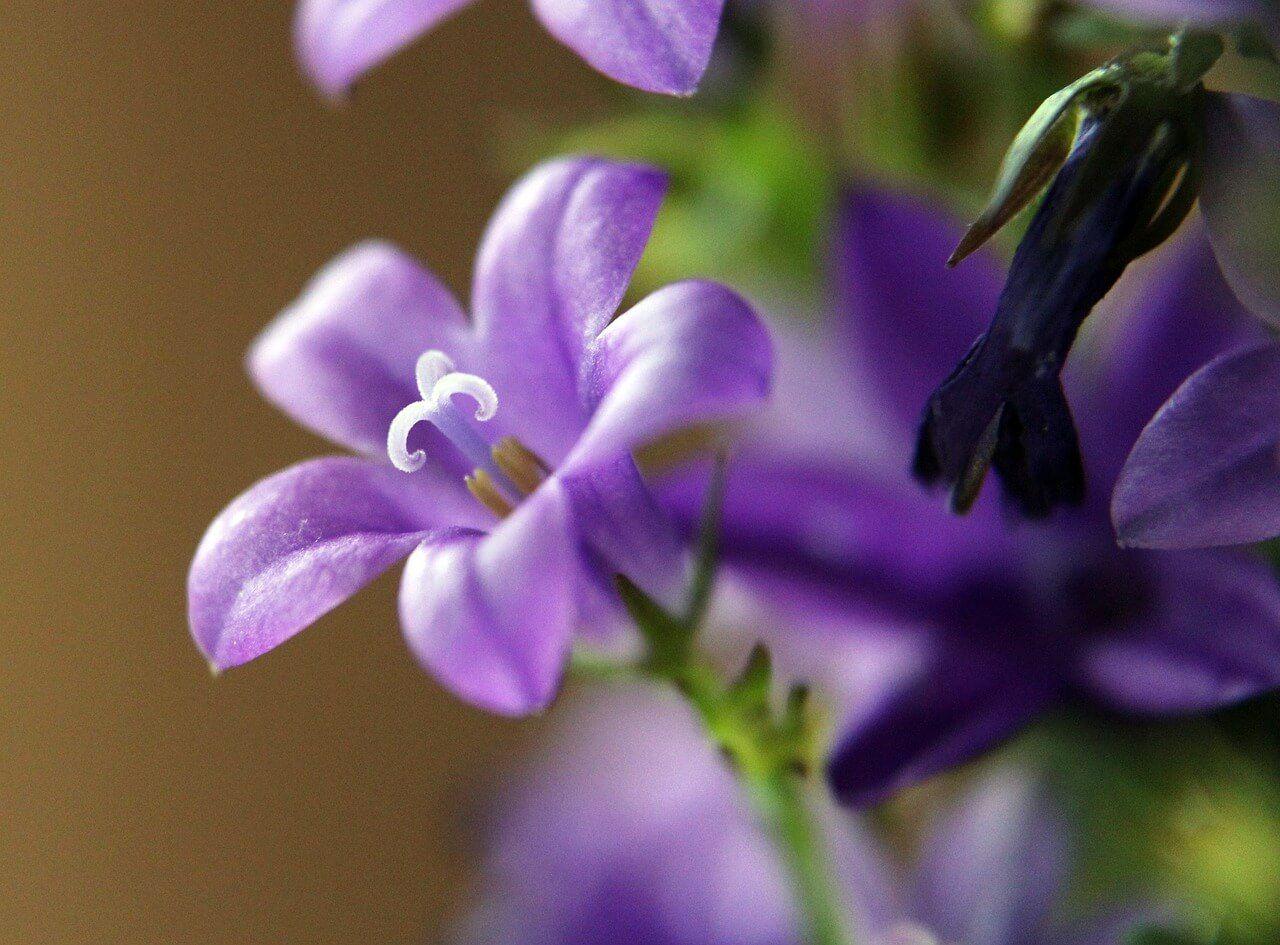 도라지 효능 부작용 먹는법 도라지차 끓이기 2020 대추 스무디 식물