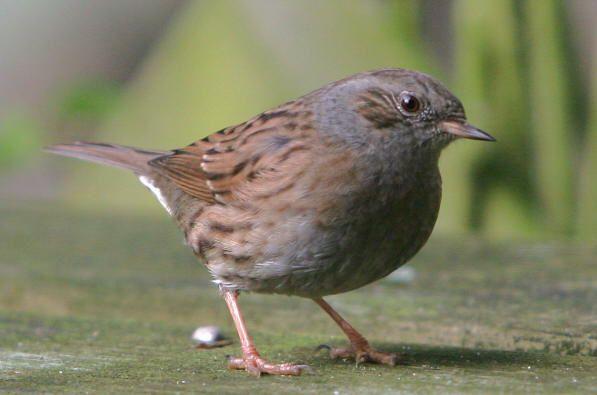 heckenbraunelle  tiere heimische vögel tiere und vögel