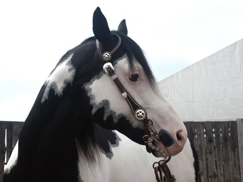 family and solid white pony Equinenow listing of white horses for sale 9 yr old mustang mare for sale 132 hands all white, no blue eyes, good feet, does not need to be shod, easy keeper, very gentle on the ground but needs.