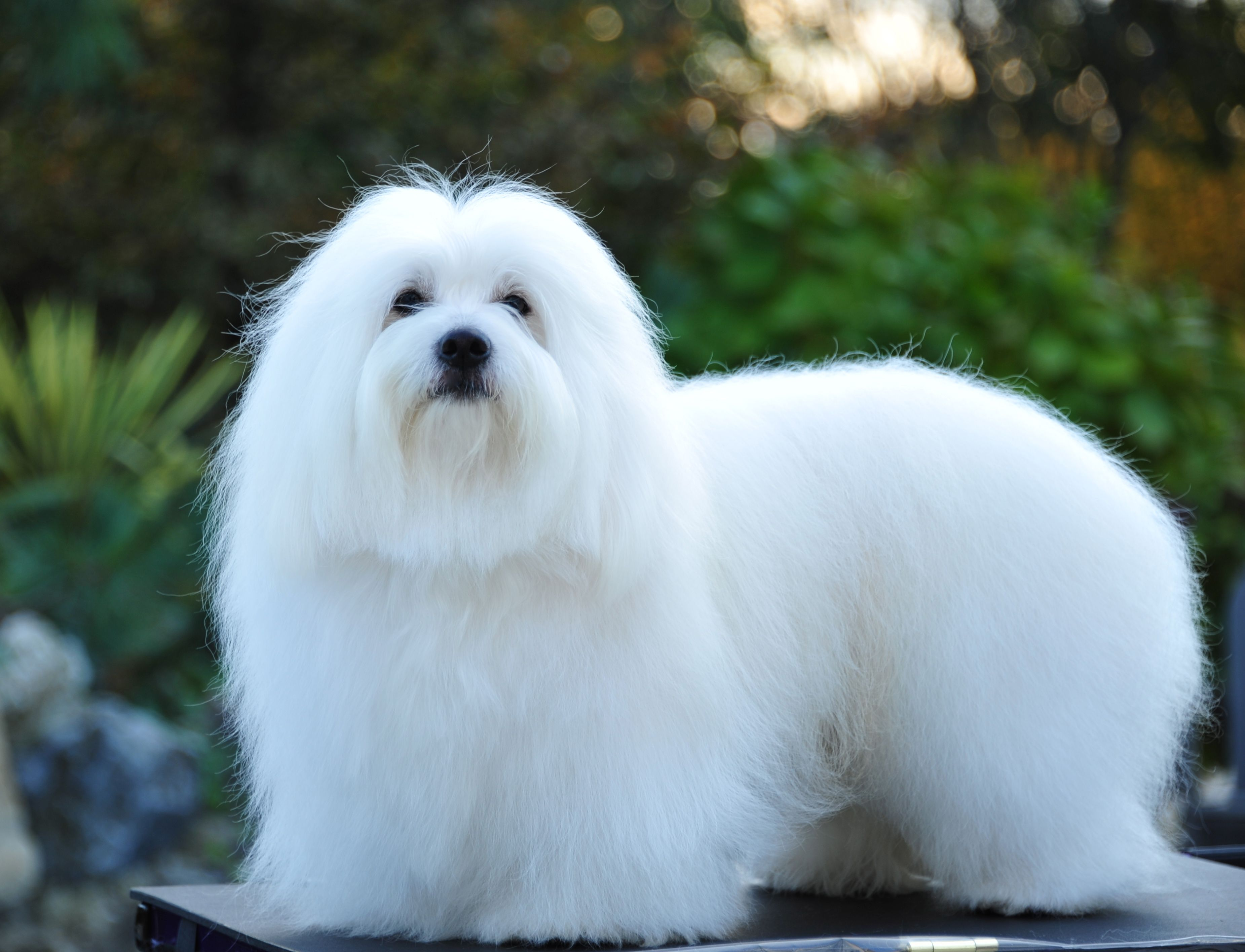 the coton de tulear s dark expressive eyes are rimmed in black and