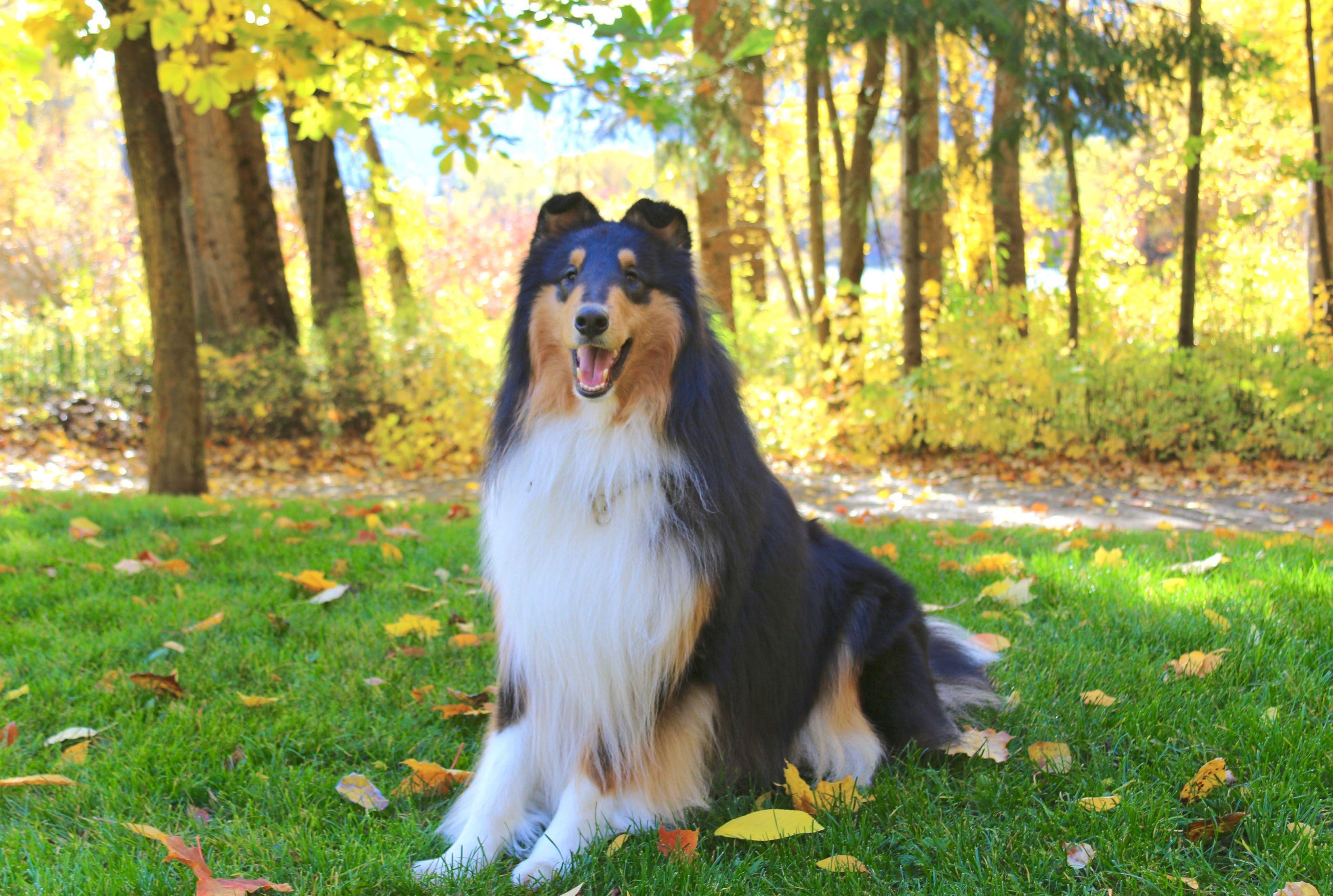 Rough Collie Tri Color Rough Collie Collie Collie Dog