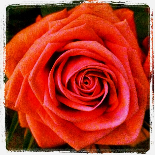 coral colored roses are my fave!
