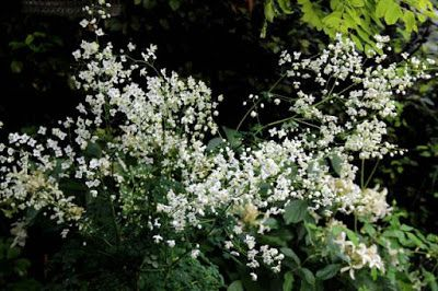 Thalictrum delavayi Splendid White