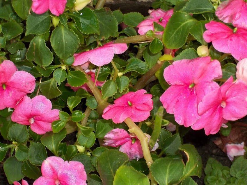 Foto mis alegr a del hogar impatiens blog jardiner a cuidados de las plantas y jard n - Alegria planta cuidados ...