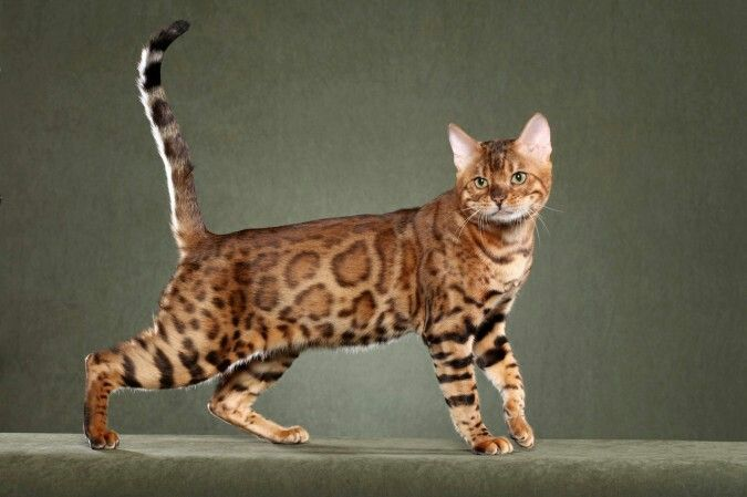 Most Expensive Cat Breeds In The World Bengal 1 000 10 000