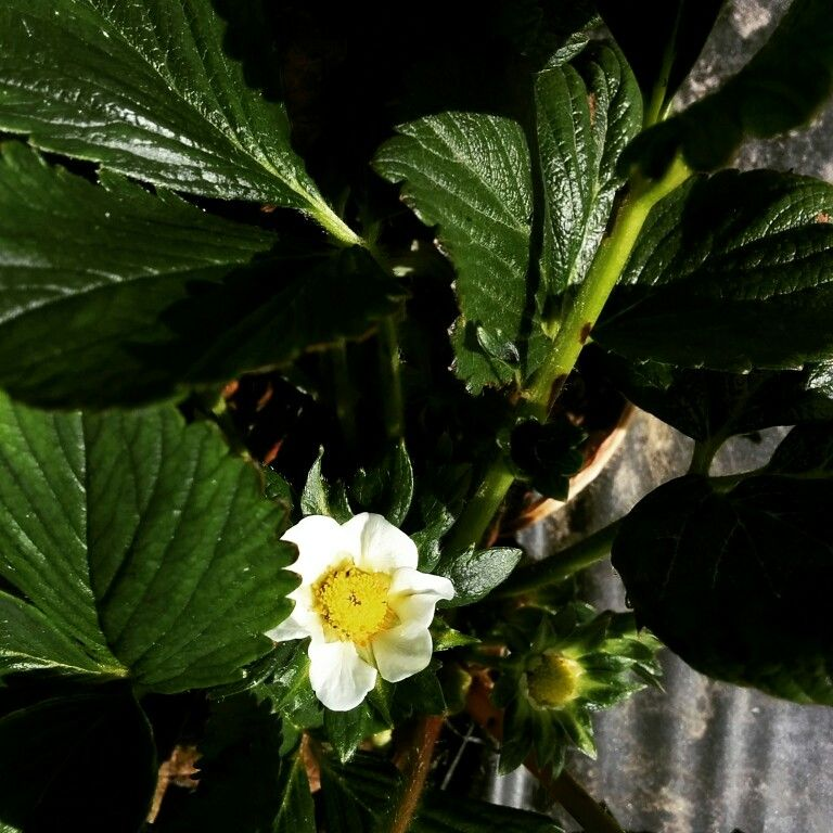 Fleur De Fraisier Strawberry Flower Photos De Fraises