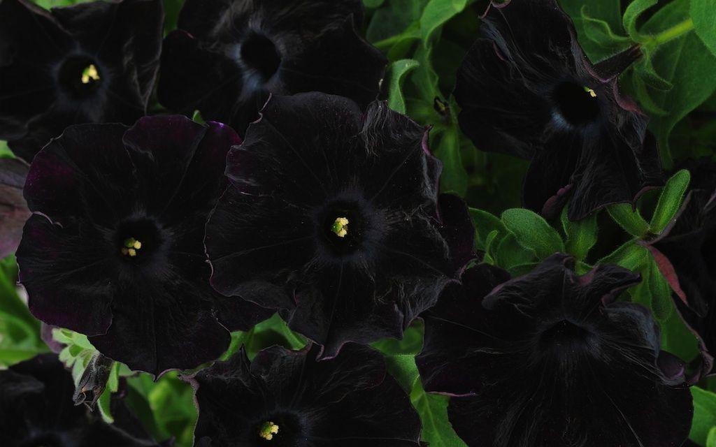 Black Velvet Petunia Black Petunias Petunias Black Flowers