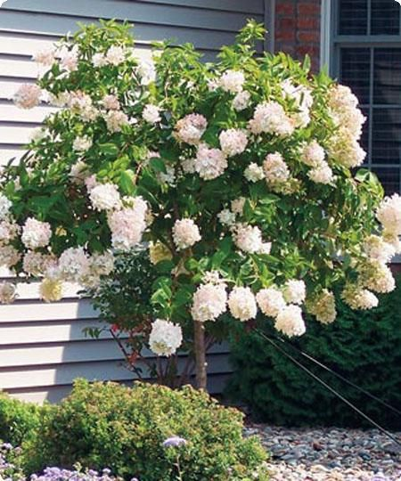 Pee Gee Hydrangeas Can Be Pruned Into A Tree They Come In Shades Of White Pink Lavender And Indigo P Hydrangea Tree Landscaping Trees Limelight Hydrangea