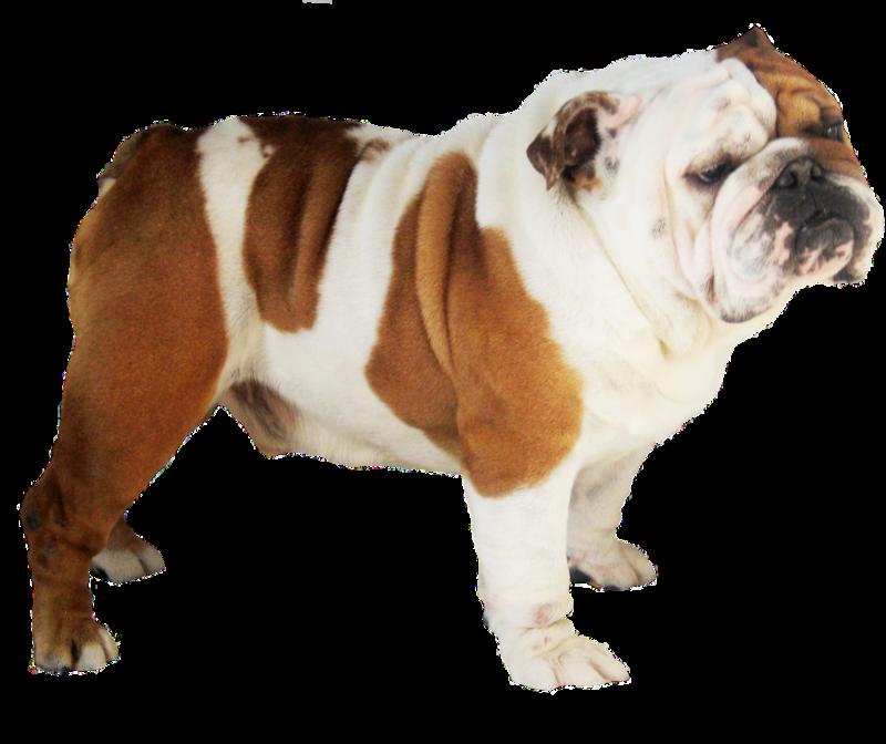Bulldog Png Image Purepng Free Transparent Cc0 Png Image Library