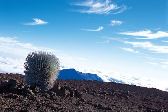Hawaii Photo  Gallery silver sword in Haleakala crater | Photos from around Hawaii  Rare bloom