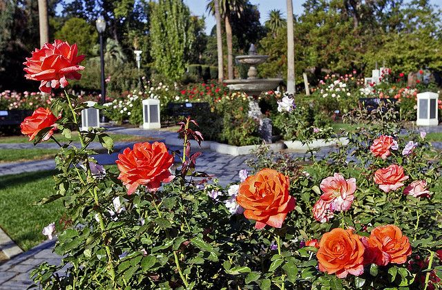 World Peace Rose Garden At The California State Capitol In