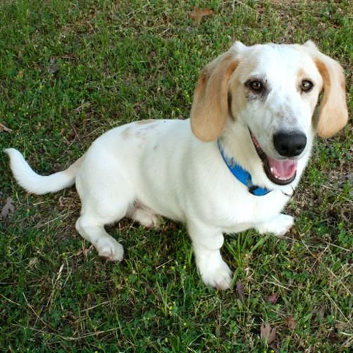 Adopt Sarge On Basset Hound Dog Hound Dog Dogs