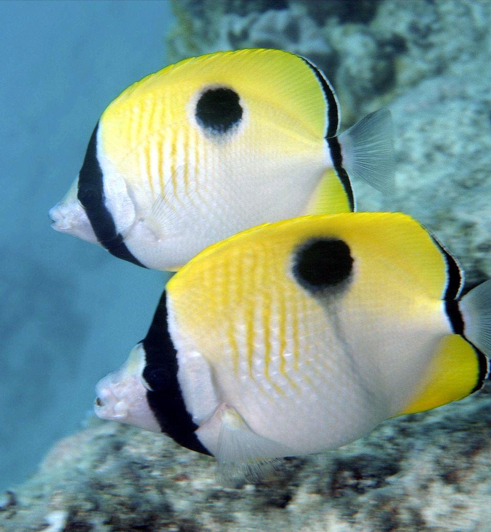 Teardrop Butterflyfish Chaetodon Unimaculatus Marine Aquarium Fish Marine Fish Marine Aquarium
