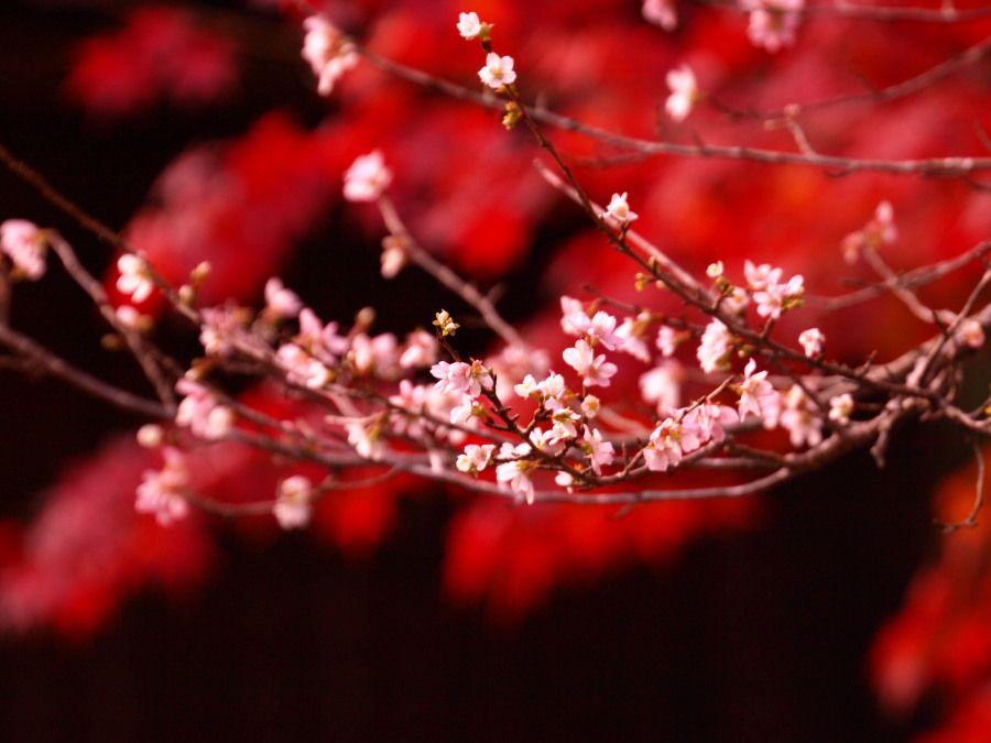 sakura karcsúsító