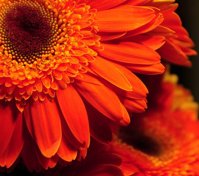 Orange Gerbera Daisies 1315 Gerbera Daisy Gerbera Orange Flowers