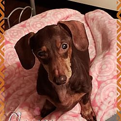 Pin by Ray on Dachshunds Green cove springs, Dachshund