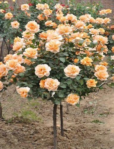 5 Orange Rose Tree seeds, $14.95